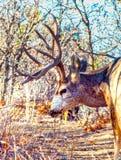 与垫铁和鹿角的一头大型装配架鹿在森林 图库摄影
