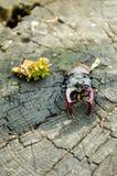 与垫铁的一只大昆虫 一只可怕的甲虫 垂直的射击 免版税库存照片
