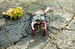 与垫铁的一只大昆虫 一只可怕的甲虫 水平的框架 免版税库存图片