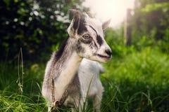 与垫铁的一只幼小山羊在草甸 黑白山羊 免版税库存图片