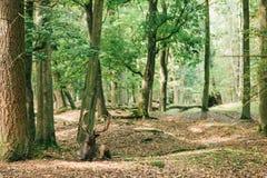 与垫铁的一头美丽的野生鹿在树中的秋天森林里在 库存图片