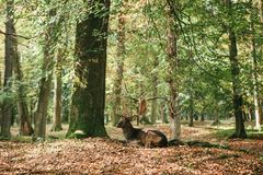 与垫铁的一头美丽的野生鹿在树中的秋天森林里在 免版税库存图片