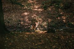 与垫铁的一头美丽的野生鹿在树中的秋天森林里 免版税库存图片