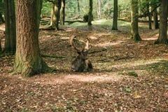 与垫铁的一头美丽的野生鹿在树中的秋天森林里 库存图片