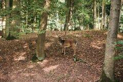 与垫铁的一头美丽的野生鹿在树中的秋天森林里 图库摄影