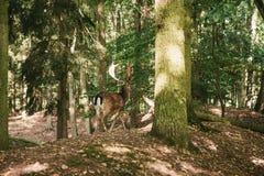 与垫铁的一头美丽的野生鹿在树中的秋天森林里 库存照片