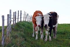与垫铁的两头相当幼小西门塔尔牛母牛 免版税库存照片