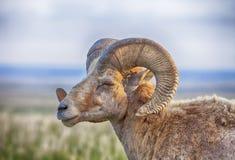 与垫铁的公大角野绵羊 免版税库存图片