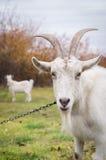 与垫铁的多数山羊在草甸,束缚在链子 库存照片