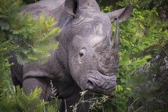 与垫铁的犀牛画象 免版税库存图片