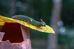 与垫铁的绿色毛虫幼虫看起来龙 免版税库存照片