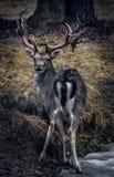 与垫铁的鹿在森林里 库存图片