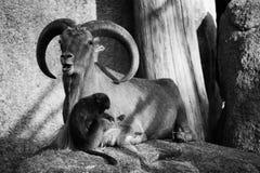 与垫铁,猴子,狒狒动物爱自然的石山羊 库存照片
