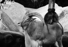 与垫铁,猴子,狒狒动物爱自然的石山羊 图库摄影