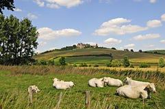 与城堡的夏洛来牛母牛 库存图片