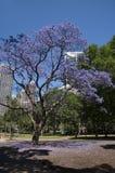 与城市摩天大楼的兰花楹属植物树在背景中 库存照片