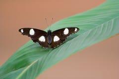 与基于叶子的被环绕的翼的蝴蝶 图库摄影