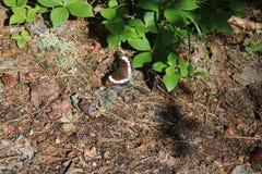 与基于森林地面的白色条纹的蝴蝶 库存照片