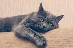 与基于长沙发的一个严肃的表情的一只灰色猫 库存图片