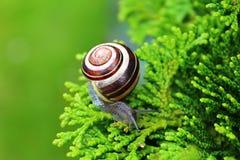 与壳的蜗牛在分支 库存照片