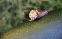 与壳的蜗牛 图库摄影