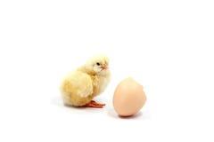 与壳的黄色小鸡 免版税库存照片