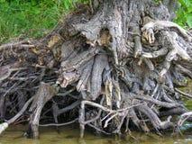 与复杂地交错的根的干燥树桩 免版税图库摄影