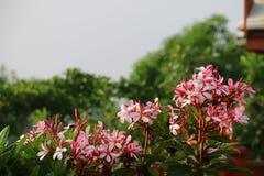 与外缘桃红色的白花 免版税库存照片