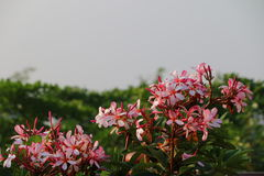 与外缘桃红色的白花 图库摄影