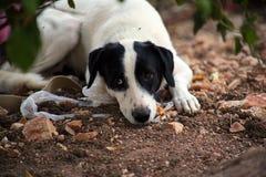 与外面黑耳朵等待的白色狗 免版税图库摄影