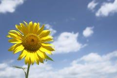 与多云蓝天的一个唯一向日葵 免版税库存图片