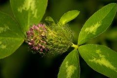 与多刺的芽和明亮地紫罗兰不开花的花的绿草,在与绿色叶子的黑暗的背景 宏指令 免版税库存图片