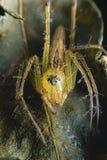 与多只眼睛的蜘蛛推托任意伪装看起来有趣作为一个宏观图象的牺牲者 图库摄影
