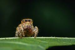 与多只眼睛的蜘蛛推托任意伪装看起来有趣作为一个宏观图象的牺牲者 免版税库存照片