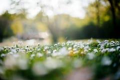 与多朵花的雏菊领域和太阳飘动 免版税库存照片