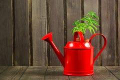 与多汁植物的红色喷壶在老木背景 免版税图库摄影