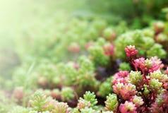 与多汁植物的花卉背景 库存图片