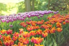 与多色郁金香的春天风景 背景蓝色云彩调遣草绿色本质天空空白小束 库存图片
