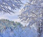 与多雪的云杉、山毛榉和落叶松属的冬天场面 免版税库存图片