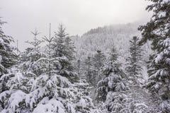 与多雪的冷杉的一个山风景在早期的冬天 库存照片