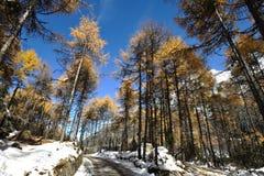 与多雪的道路的落基山桧树在蓝天下 免版税图库摄影