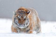 与多雪的面孔的连续老虎 在狂放的冬天自然的老虎 跑在雪的阿穆尔河老虎 行动野生生物场面,危险动物 免版税库存图片