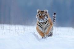 与多雪的面孔的连续老虎 在狂放的冬天自然的老虎 跑在雪的阿穆尔河老虎 行动野生生物场面,危险动物 库存照片
