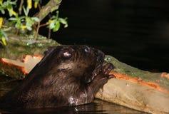 与夜吃的欧洲海狸木吠声 免版税图库摄影