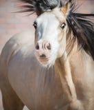 与大传神眼睛的滑稽的暗褐色威尔士小马 免版税库存照片