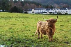 与大厦的高地母牛 免版税库存图片