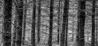 与大反差的黑白森林场面 免版税库存图片
