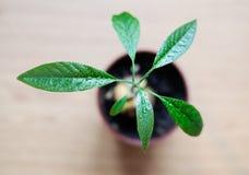 与大叶子的一棵年轻鳄梨树从在罐的一颗种子增长 库存图片