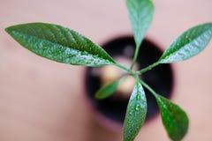 与大叶子的一棵年轻鳄梨树从在罐的一颗种子增长 免版税库存照片
