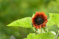 与大叶子的向日葵 库存照片